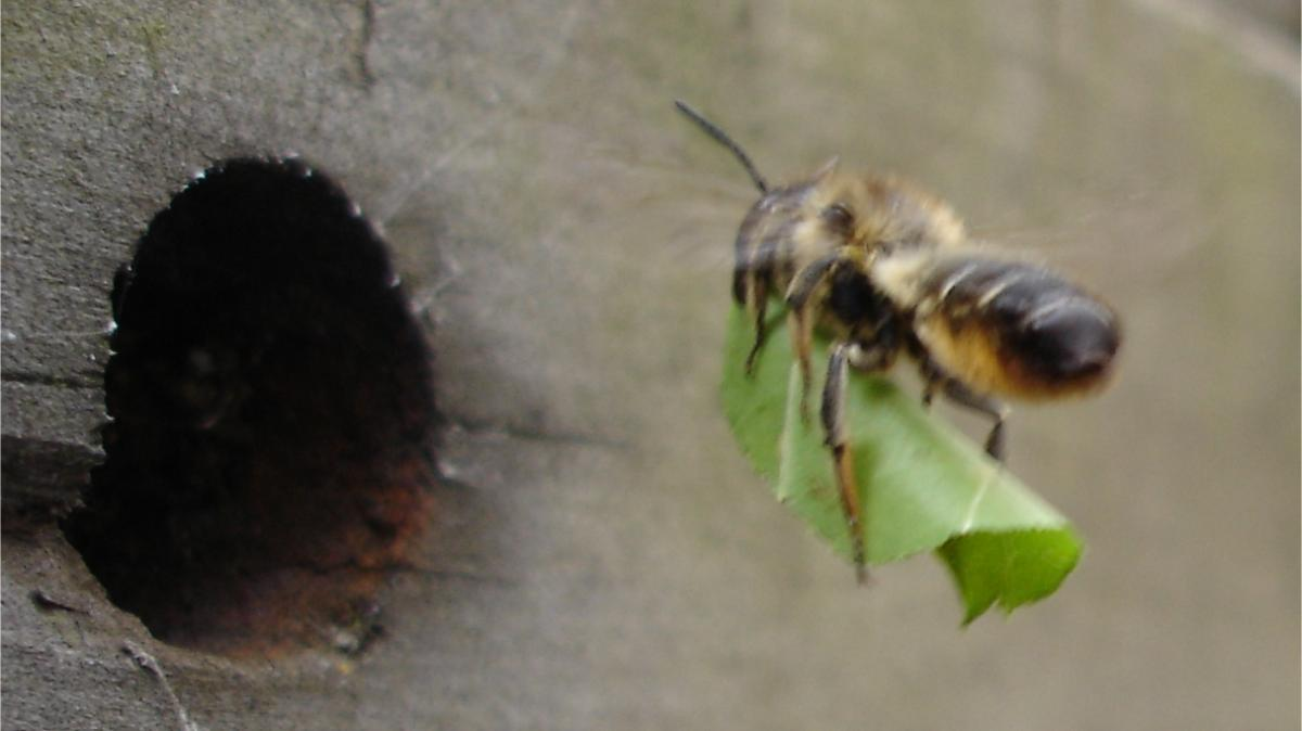 bee flying carrying a leaf